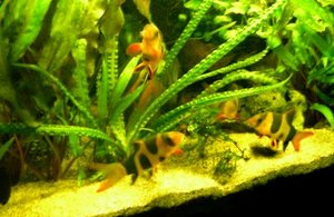 brightly enlightened aquarium with active clown loaches